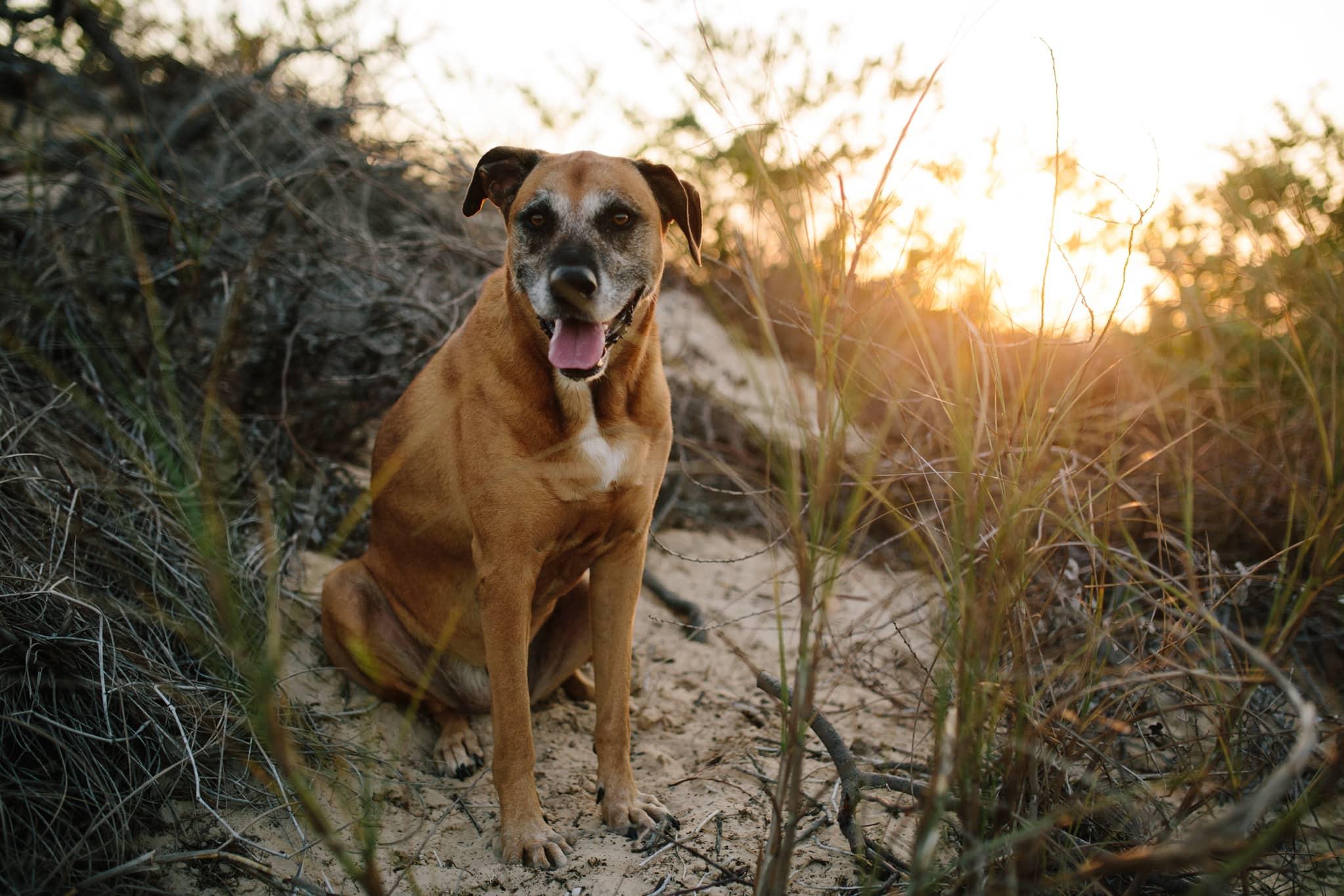 brown dog on top of sand dune