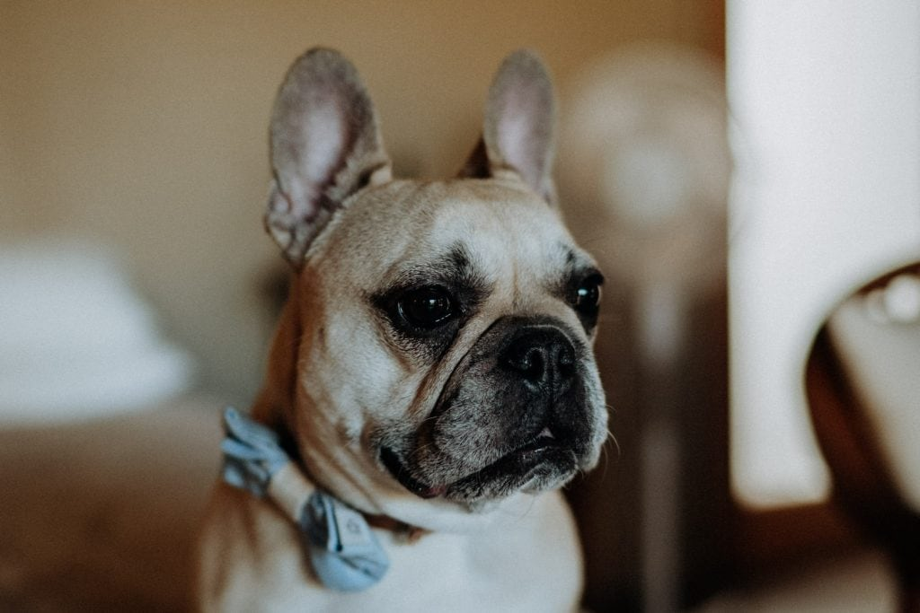 french bulldog wearing a blue bow tie